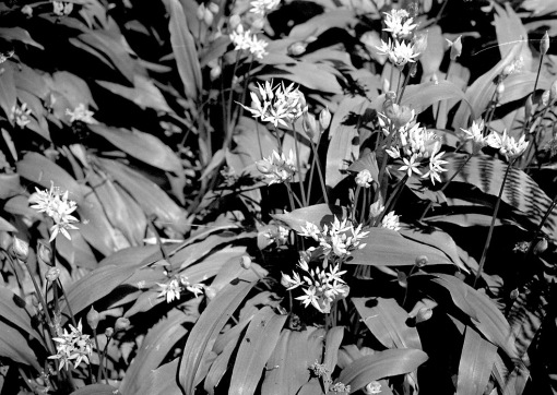 A black and white picture of wild garlic