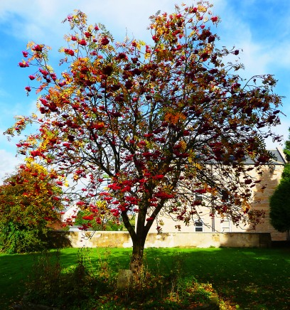 Rowan tree in berry