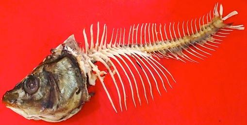 Carp skeleton