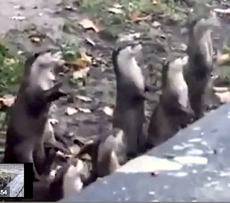 Snapshot from video clip of jumping meerkats