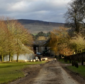 On the small road from Embsay to Bolton Abbey there's a farm with, probably, thousands of sheep. Herding them into the shed on the left, presumably for lambing